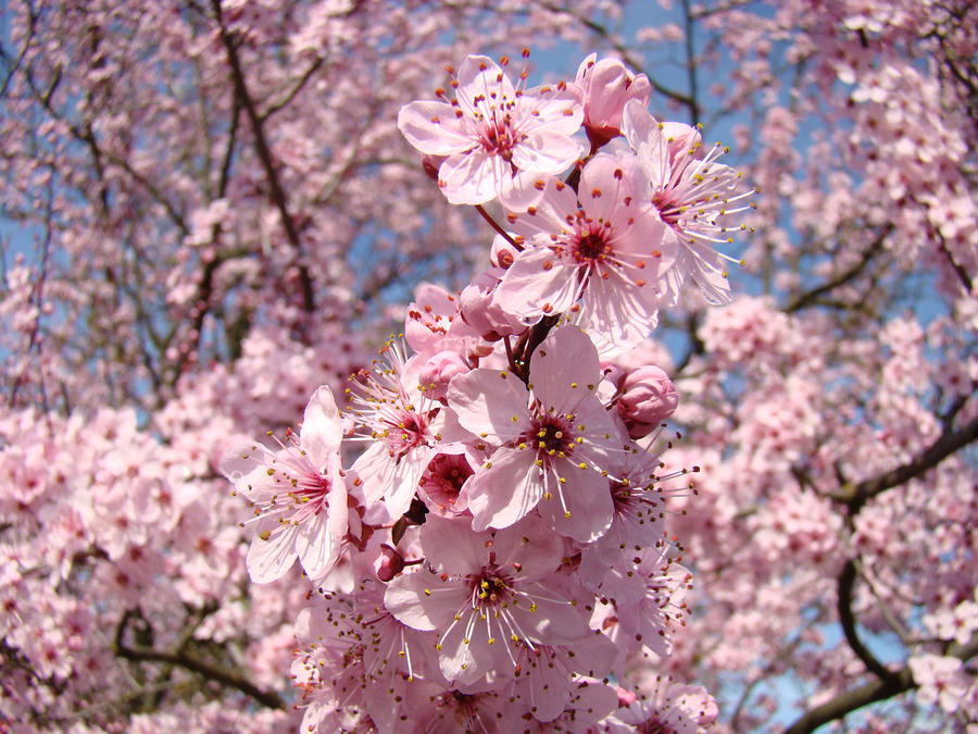 Spring trees and flowers image collections flower decoration ideas spring trees and flowers choice image flower decoration ideas spring trees and flowers image collections flower mightylinksfo